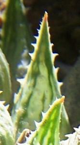 maculata + 028 - leaf face