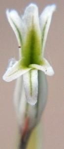 4461.1b H. mirabilis notabilis, Buitenstekloof
