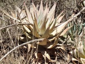 Aloe glauca, Genadendal